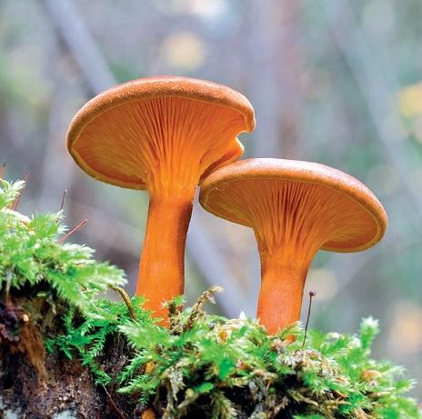 Грибы – двойники. Какие двойники есть у белого гриба Сыроежки ... | 461x464